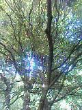 大きなキンモクセイの木の下で